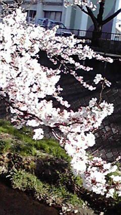 サクラが咲いた